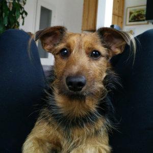 Odo, Terrier-Dackel-Mischling